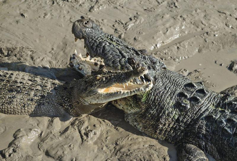 Beißkraft Krokodil