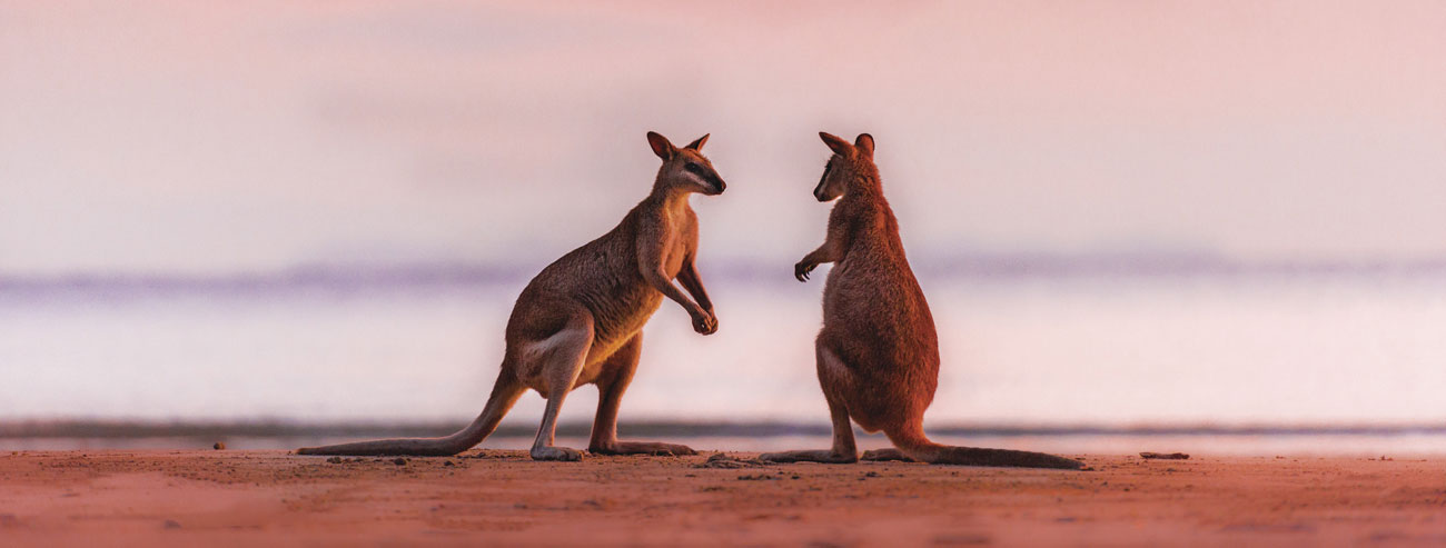 Kangaroo on beach