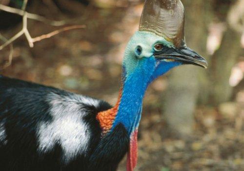 Kasuar - der gefährlichste Vogel der Welt?!
